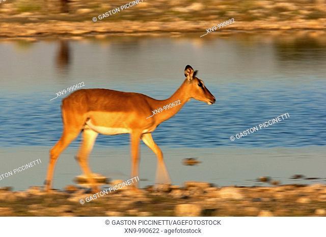 Black-faced impala Aepyceros melampus , Etosha National Park, Namibia