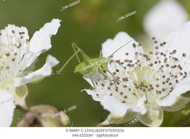 Cricket, Leptophyes albovittata on blackberry bramble blossom. Leptophyes albovittata is geen, spiny cricket with lateral white stripes when mature