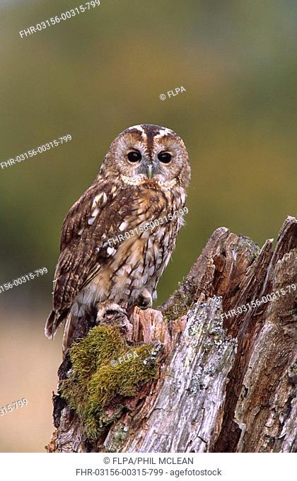 Tawny Owl Strix aluco adult on tree stump, woodland edge, Scotland