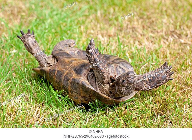 Mediterranean Spur-thighed Tortoise (Testudo graeca). Righting reflex action. Using head, neck and limbs, rocking from left to right