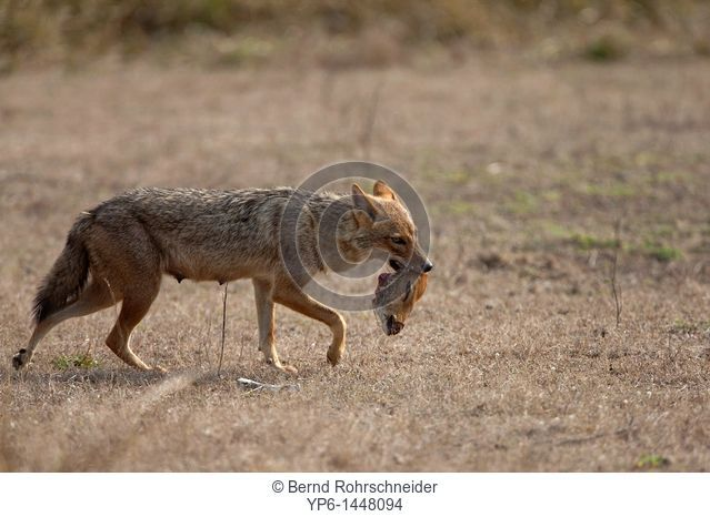 Golden jackal Canis aureus carrying head of a dead Chital, Kanha National Park, Madhya Pradesh, India