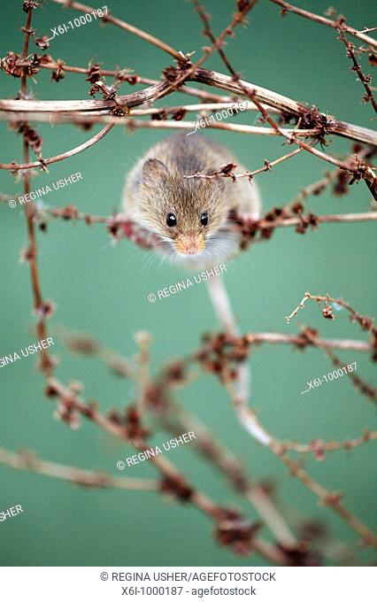 Harvest Mouse Micromys minutus, climbing around between dead plant stalks
