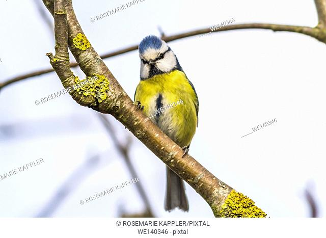 Germany, Saarland, Bexbach, A blue tit is sitting on a branch