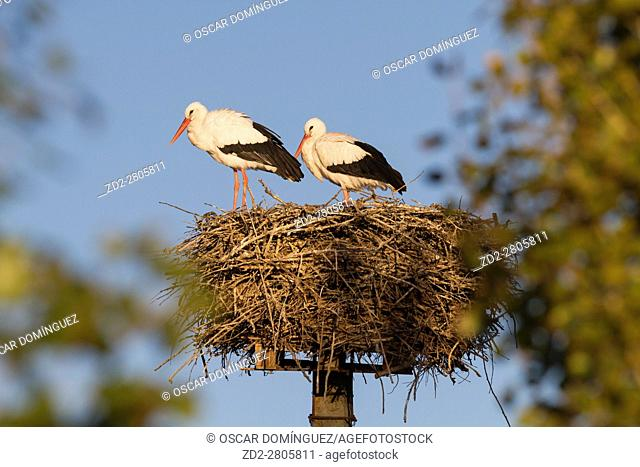 White stork (Ciconia ciconia) pair at nest on artificial nesting platform. Ivars Lake. Lleida province. Catalonia. Spain
