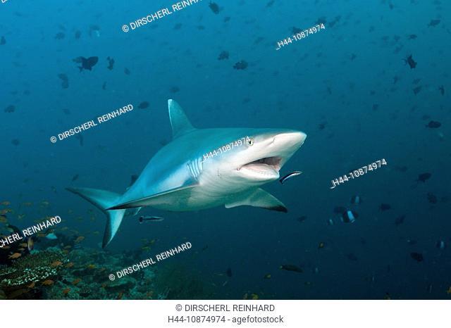Grauer Riffhai mit Putzerfisch, Carcharhinus amblyrhynchos, Labroides dimidiatus, Hafsaa Thila, Nord Ari Atoll, Malediven, Grey Reef Shark with Cleaner Wrasse