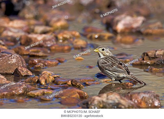 corn bunting (Emberiza calandra, Miliaria calandra), walking between stones in the shallow water of a brook, Greece, Lesbos, Kalloni Salt Pans