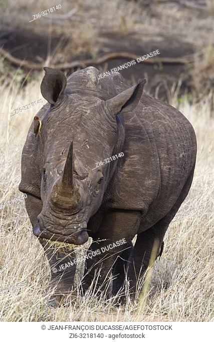 White rhinoceros (Ceratotherium simum), walking adult male, feeding on dry grass, with two perched red-billed oxpeckers (Buphagus erythrorhynchus)