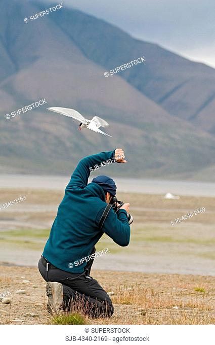 A photographer covers his head as an arctic tern Sterna paradisaea darts above him to run him off its nest, Longyearbyen, Isfjorden, Svalbard, Norway
