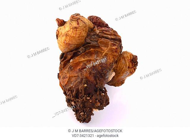 Grooved sea squirt (Microcosmus sabatieri) is an edible ascidiaceae native to Mediterranean Sea.