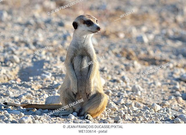 Meerkat (Suricata suricatta), adult male, sitting along the gravel road, Kgalagadi Transfrontier Park, Northern Cape, South Africa, Africa