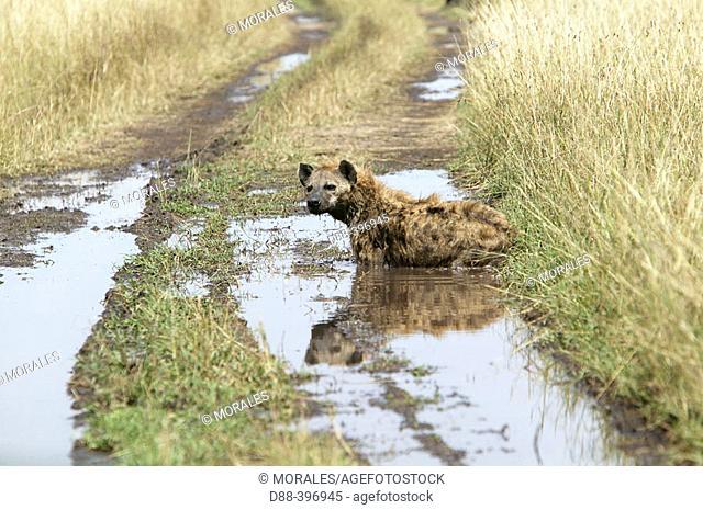 Spotted Hyena (Crocuta crocuta). Masai Mara, Kenya
