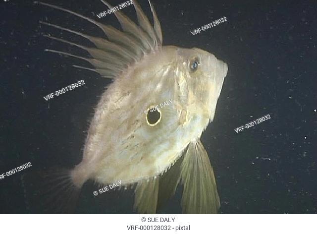 John Dory fish feeding at night. Channel Island, UK