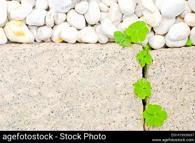 white pebble and newborn creeping oxalis leaf
