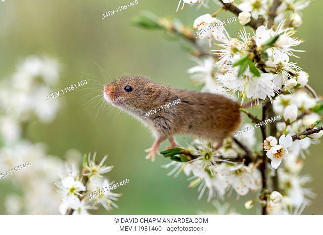 Harvest Mouse - on Blackthorn Blossom - Devon - UK