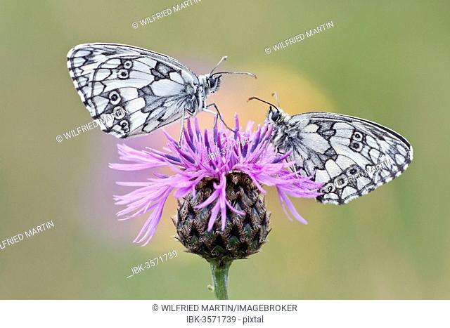 Two Marbled White Butterflies (Melanargia galathea) on Brownray Knapweed (Centaurea jacea), North Hesse, Hesse, Germany