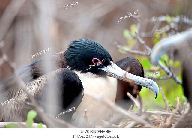 Greater Frigatebird Fregata minor