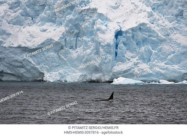 Orca (Orcinus orca), Lemaire channel, Antarctica