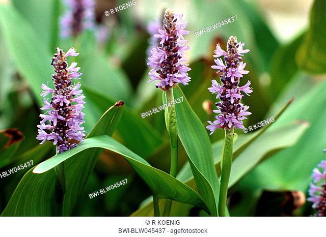 pickerel weed Pontederia cordata, blooming