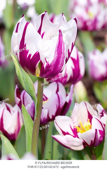 Cultivated Tulip (Tulipa sp.) 'Zurel', close-up of flowers, growing in garden, Cornwall, England, March