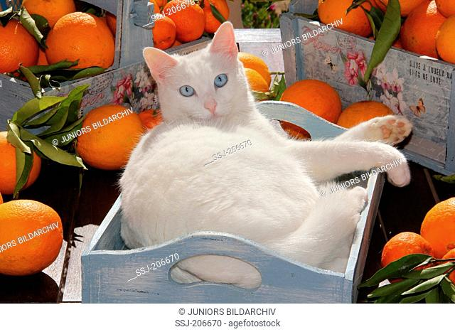 Domestic cat. White adult lying in a box next to oranges. Spain