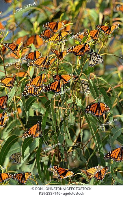 Monarch (Danaus plexippus) Winter colony roosting in eucalyptus tree, Pismo Beach State Park, California, USA