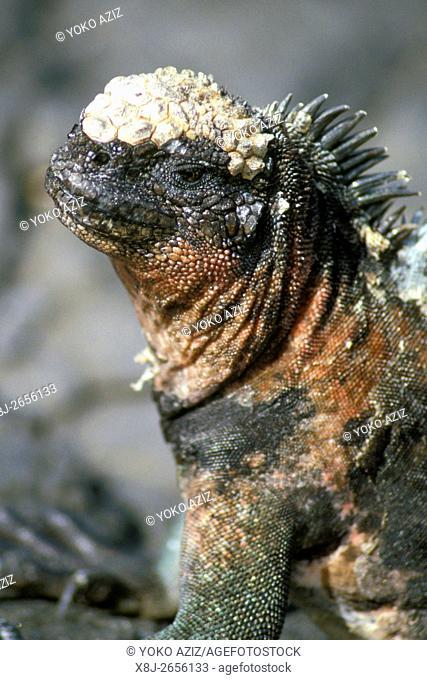 ecuador, iguana