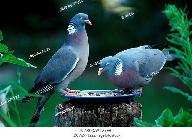 Wood Pigeons at feeding station Germany Columba palumbus