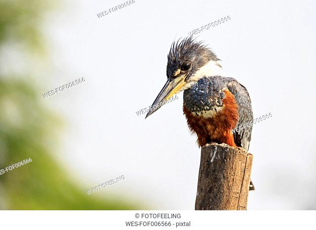 South America, Brasilia, Mato Grosso do Sul, Pantanal, Ringed Kingfisher, Megaceryle torquata