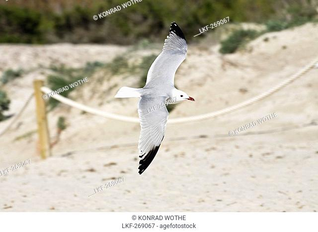 Audouin's Gull flying over sandy beach, Mallorca, Spain, Europe
