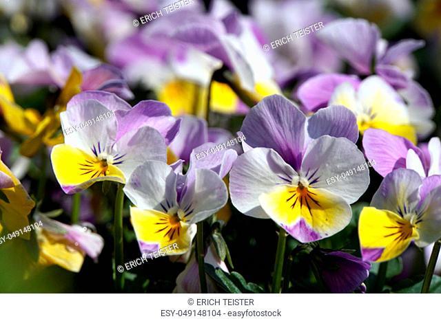 horned pansy or horned violet (Viola cornuta)