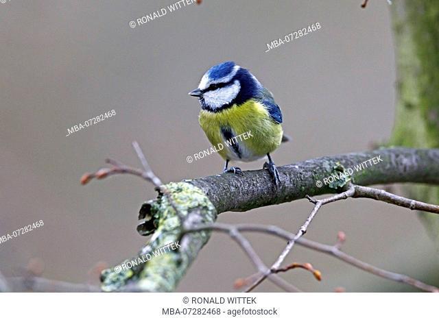 Blue tit (Cyanistes caeruleus), wildlife, Germany