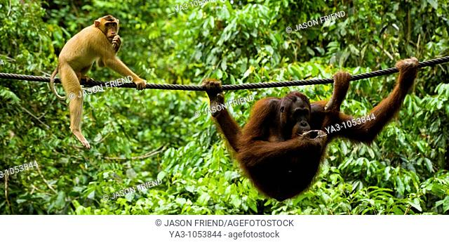 Sabah Malaysia, Borneo, Sepilok  Pig tailed Macaque watching an Orang Utan eating fruit whilst hanging from a rope in the Sepilok Orangutan Rehabilitation...