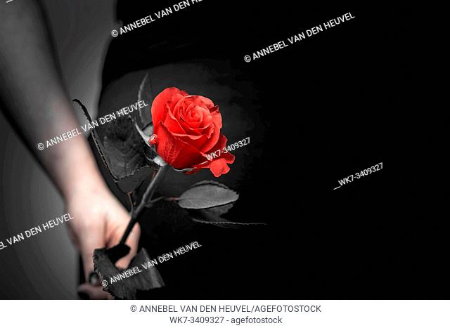 Beautiful red rose close up, selective focus, romantic concept, space for text love valentine