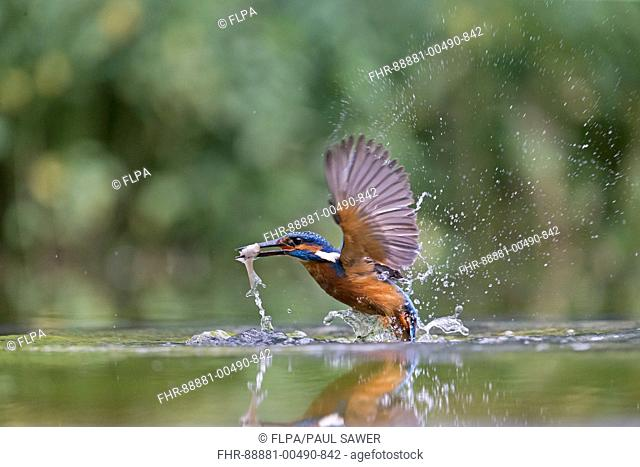 Common Kingfisher (Alcedo atthis) adult male, in flight, emerging from water with Common Rudd (Scardinius erythropthalamus) prey in beak, Suffolk, England, July
