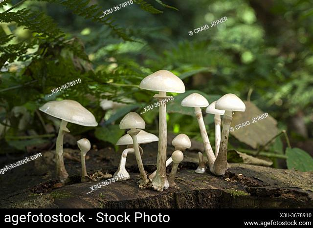 Porcelain fungus (Mucidula mucida) growing on a fallen beech tree in early autumn at Priors Wood, North Somerset, England