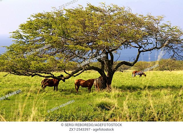 Horses in Puakea Bay Ranch. Located at the northern tip of the Big Island of Hawaii, 3 miles south of the historic town of Hawi, with schools