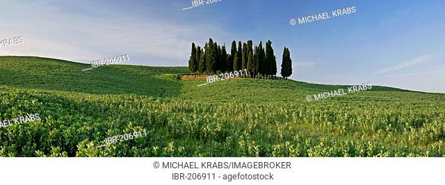 Grove of cypress trees, cupressus sempervirens, on hill in Val d'Orcia, Tuscany, Italy