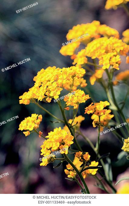 shower of gold or allysum saxatile perennial of the family Cruciferae