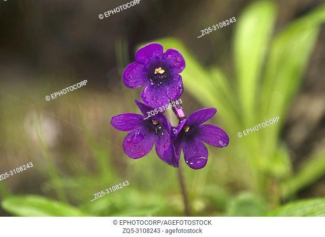 Purple bloom of Primula macrophylla, Uttarakhand, India