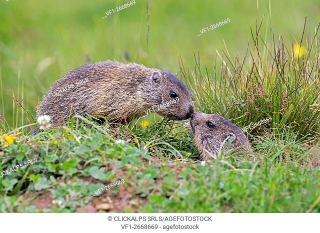 Stelvio National Park,Lombardy,Italy. Marmots