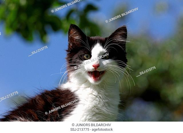 Norwegian Forest Cat. Portrait of black-and-white kitten, meowing. Germany
