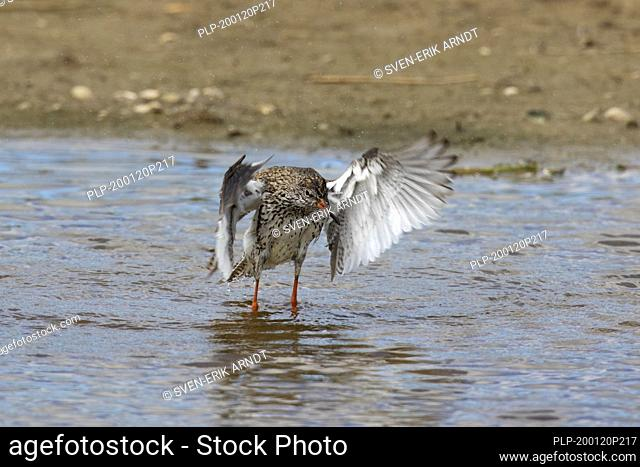 Common redshank (Tringa totanus) in shallow water with wet feathers flapping its wings