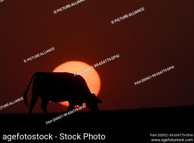 21 September 2020, Saxony, Dresden: A cow stands in a meadow in the Schönfeld highlands before the setting sun. Photo: Robert Michael/dpa-Zentralbild/dpa