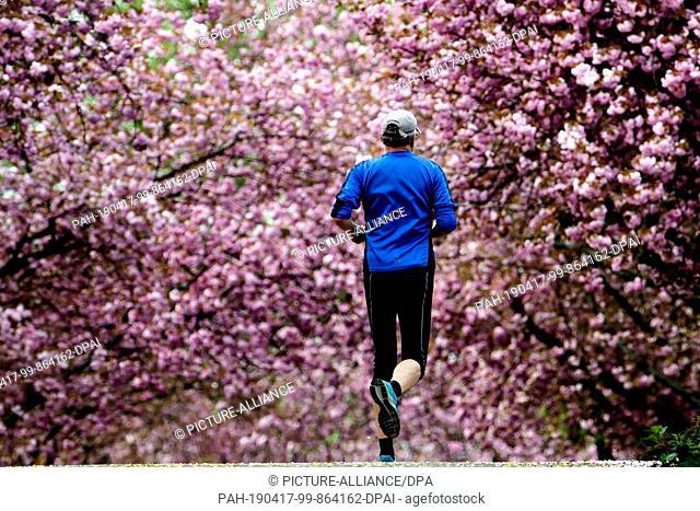 17 April 2019, North Rhine-Westphalia, Köln: A jogger walks in an allotment garden under blossoming cherry trees. Photo: Federico Gambarini/dpa
