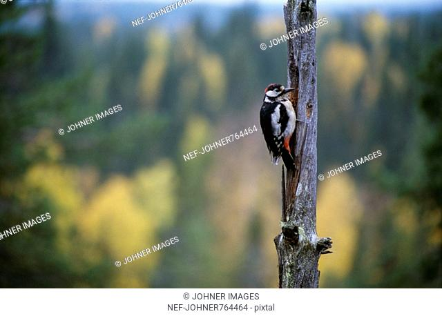 Large woodpecker