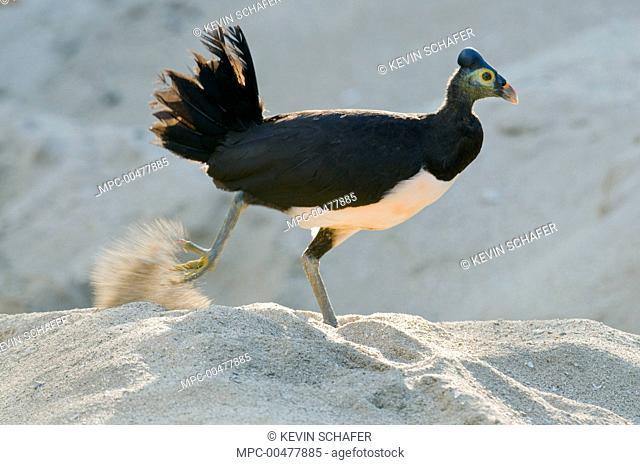 Maleo (Macrocephalon maleo) digging nest to lay eggs in sand, Sulawesi, Indonesia
