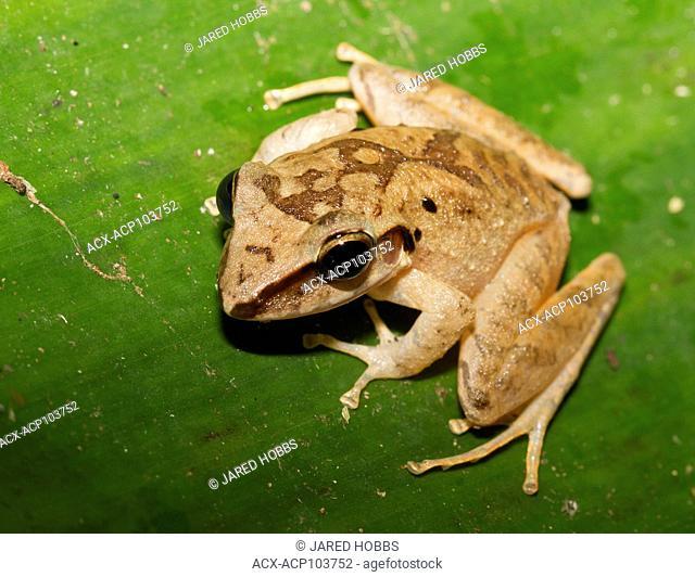 Rain Frog (generic species name-unidentified), Amazon Rainforest, Ecuador