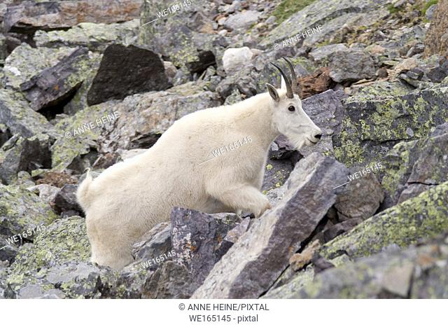 mountain goat climbing up rocky slope. Lake O`Hara area, Yoho National Park, British Columbia, Canada