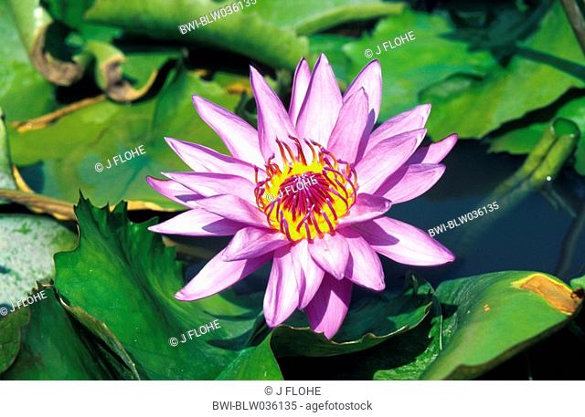 Egyptian lotus, blue lotus of the nile, blue water lily Nymphaea caerulea, blooming, Thailand