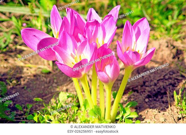 beautiful pink flowers of Colchicum autumnale blossoming in the Autumn